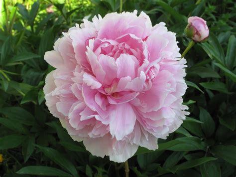 pink peonies pink peonies www imgkid com the image kid has it