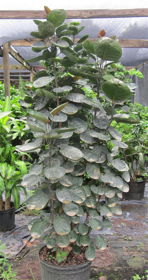 tropical plants for sale in florida aralia stump fabian tropical plants for sale tropical