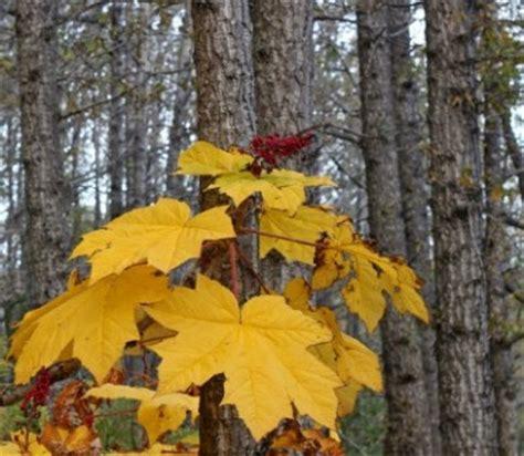 alaska trees