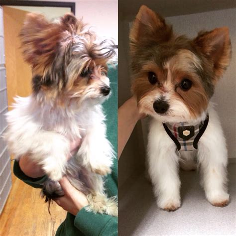 pet haircuts near me cut by rainey our adorable teacup yorkie otis yelp