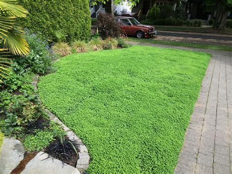 Micro Clover Lawn Alternative Level Ground Landscape Clover Lawn And Landscape