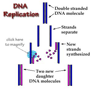 semiconservative replication involves a template what is the template dna replication ms javier s biology course