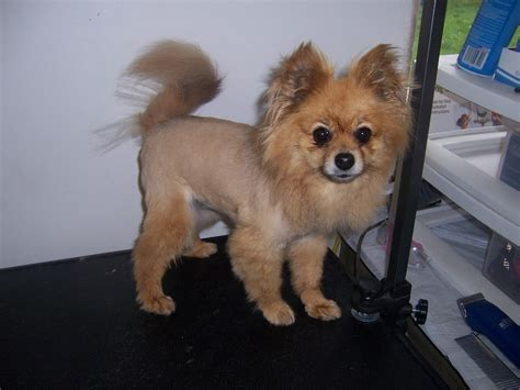 how to shave a pomeranian the gallery for gt cut black pomeranian