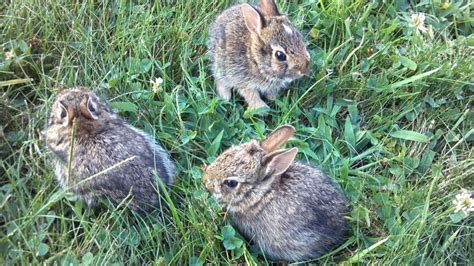 baby bunnies in my backyard wild baby bunnies squee pinterest