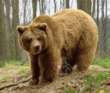 imagenes de osos navideños maestra de infantil vocabulario fotos de animales salvajes