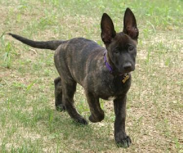 dutch shepherd history personality appearance health  pictures