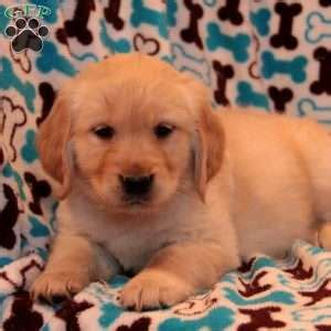 golden retriever puppies dakota golden retriever puppies for sale