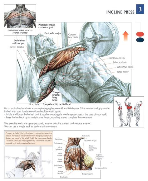 incline bench press muscles worked incline press chest workout pinterest