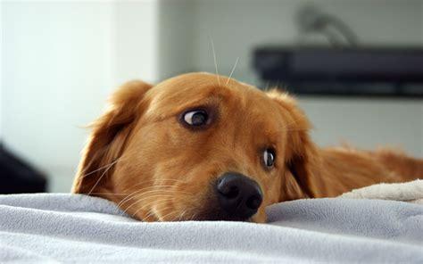 sad golden retriever puppy sad golden retriever wallpaper my rocks