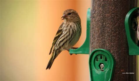 backyard bird shop lake oswego pine siskin backyard bird shop