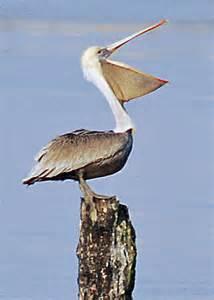 pelican a marvelous bird birds of a feather