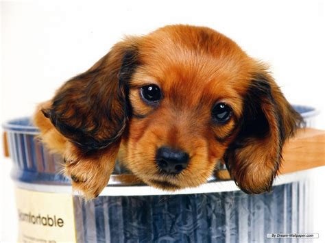 mini weiner mini dachshund wallpaper dogs wallpaper 7014528 fanpop