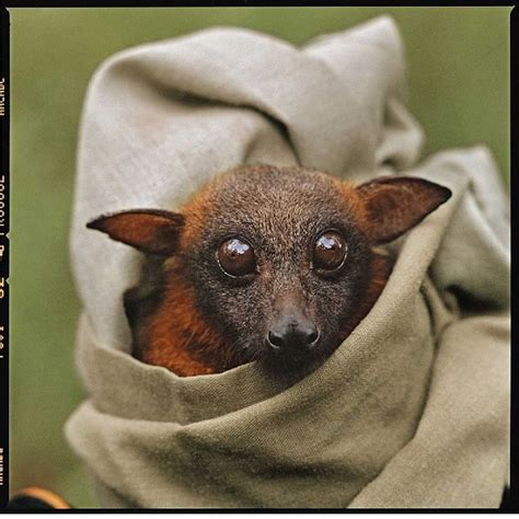 cute baby flying fox bat look at that face so freakin cute now how does anyone