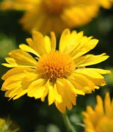 Yellow Flower Perennials - yellow perennial flowers related keywords amp suggestions