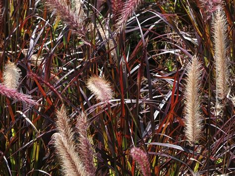 winterharte gräser garten ziergr 228 ser das ziergras