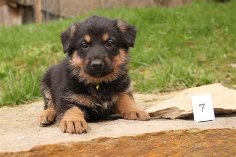 where to find free puppies free german shepherd puppies breeds picture