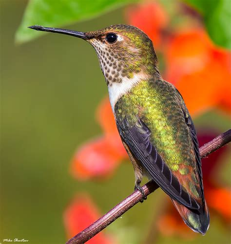 best 28 hummingbirds in bc calliope hummingbird