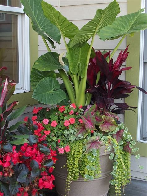 Annual Planter Ideas 25 best ideas about caladium garden on container flowers container plants and