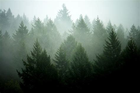 pine tree layers by sekkle via flickr forest