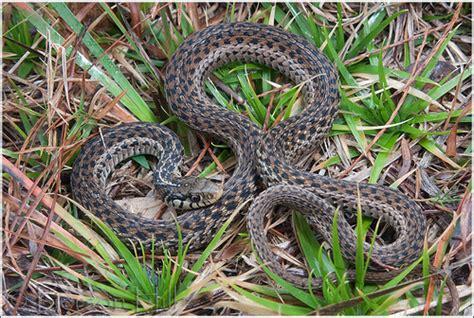 Garden Snake Florida by Eastern Garter Snake Thamnophis Sirtalis Quot Ordinatus