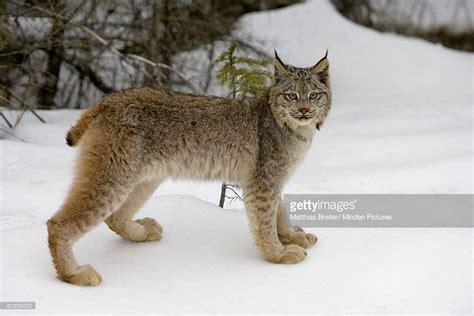 canadian snow lynx canada lynx in the snow kalispell montana stock photo