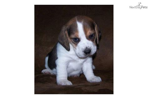 cheap beagle puppies for sale cheap beagle puppies for sale top hd desktop wallpapers and backgrounds hd pics