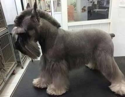 winter airedale haircut 189 best dog grooming images on pinterest doggies pets