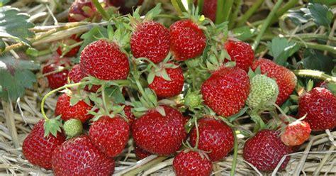 mein schöner garten gewinnspiel hummi erdbeeren gewinnspiel mein sch 246 ner garten