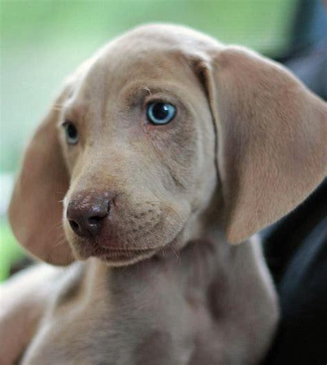 weim puppies 16 best images about 3rd future weimaraner on weimaraner puppies