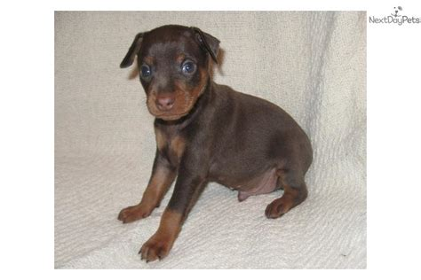 chocolate miniature pinscher puppies for sale miniature pinscher puppy for sale near kentucky 499960d9 9341