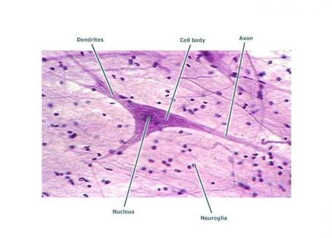 nervous tissue labeled diagram nerve tissue at galen college of nursing studyblue