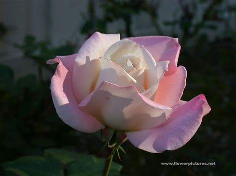 Home Flower by Wall Paper Pictures Rose Flower