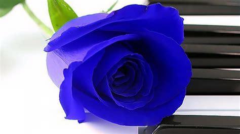 imagenes raras lindas 10 sementes de rosas azuis mto raras ex 243 ticas e lindas