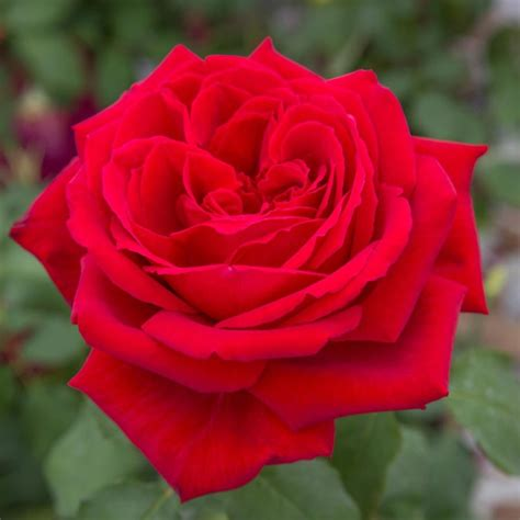 rosa fiore rosa botero 174 meiafone rosai a grandi fiori meilland