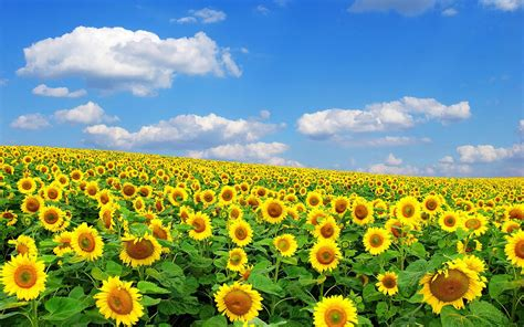 sunflower fields sunflower hd wallpapers