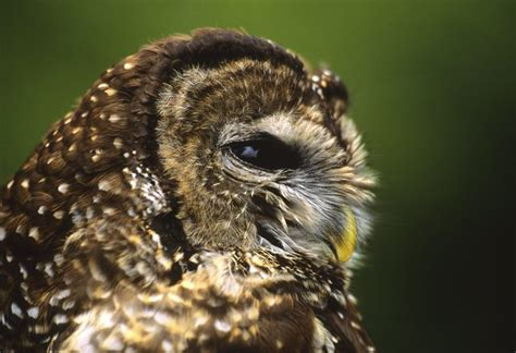 owls that live in southern california cuteness com