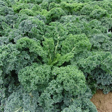 Seed Kale Curly 1 kale kapral seeds from mr fothergill s seeds and plants