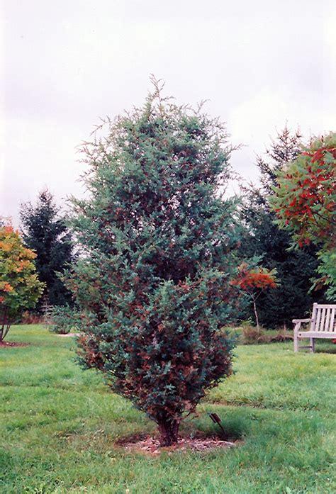 China Garden Moorhead by Juniper Juniperus Chinensis In Fargo Moorhead