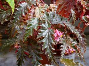 Names And Pictures Of Flowers - begonia serratipetala irmscher