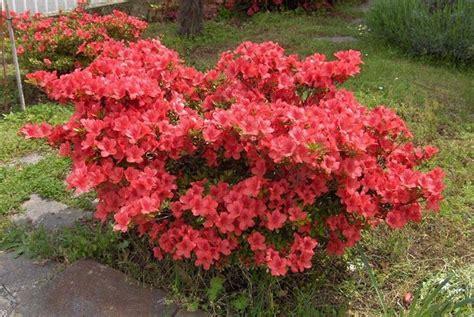 azalea in vaso azalea coltivazione piante da giardino consigli per