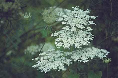 a feathered nest summer splendor queen anne s lace