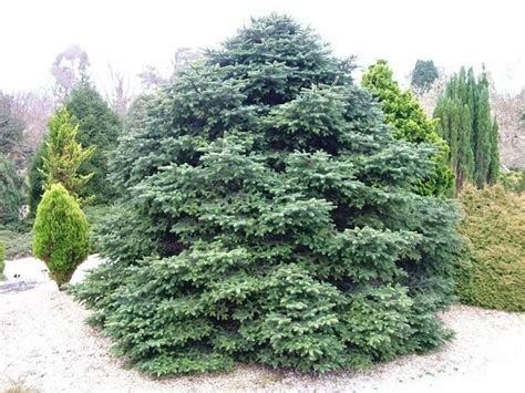 abeti da giardino alberi per giardino alberi come scegliere gli alberi