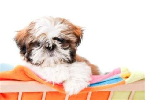 shih tzu weight shih tzu age weight chart growth chart shih tzu information center