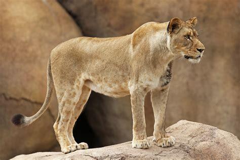 female lions lion glen oak zoo