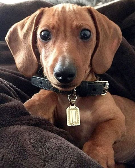 dachshund puppies for sale in wv 25 best ideas about dachshund puppies on baby dachshund dachshund and