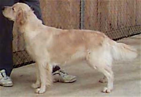 golden retriever how to take care of them caring for a golden retriever s coat dogs in our photo