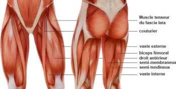 anatomie des quadriceps