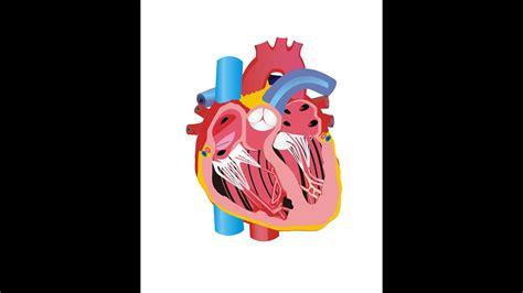 Is Jantung gambar animasi jantung terlengkap dan terupdate top animasi