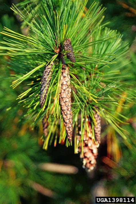 white pine cone forest pest insects in north america a photographic guide