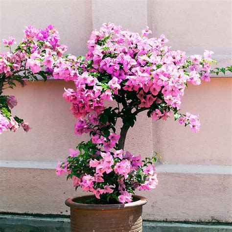 bougainvillea dwarf plant buy bougainvillea dwarf plant